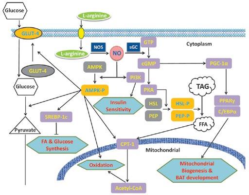 Diabetes Typ 2 – Hilft Arginin?