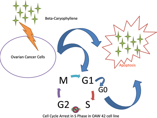 Beta Caryophyllene Suppresses Ovarian Cancer Proliferation By Inducing Cell Cycle Arrest And Apoptosis Bentham Science