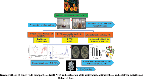 Green Synthesis of Zinc Oxide Nanoparticles (ZnO NPs) using Aqueous Extract of <i>Tagetes Erecta</i> flower and Evaluation of its Antioxidant, Antimicrobial, and Cytotoxic activities on HeLa cell line.