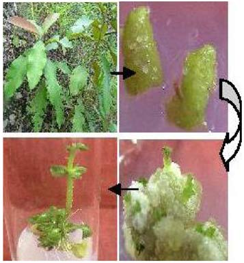 in vitro regeneration of pakistani peanut Activated charcoal in culture media independently and light duration on shoot regeneration on banana banana cultivar barangan in vitro culture 16 regeneration.