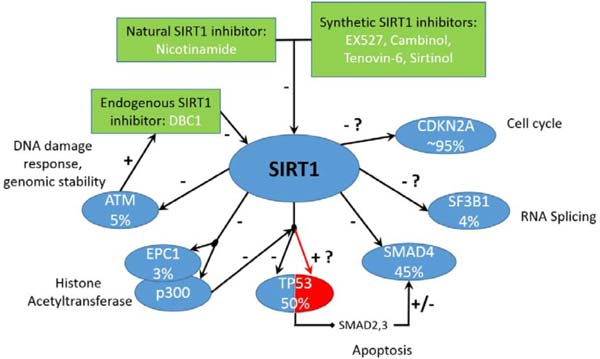 cdkn2a emerging drug target in pancreatic cancer placing sirtuin 1 on