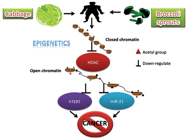 Mechanisms For The Inhibition Of Colon Cancer Cells By Sulforaphane Through Epigenetic Modulation Of Microrna 21 And Human Telomerase Reverse Transcriptase Htert Down Regulation Bentham Science