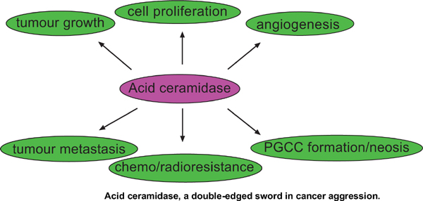 Acid Ceramidase, a Double-edged Sword in Cancer Aggression: A Minireview