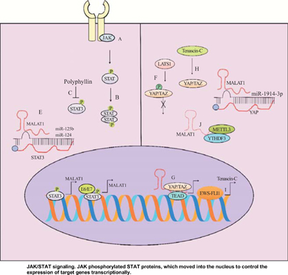 MALAT1 as a Versatile Regulator of Cancer: Overview of the Updates from Predatory Role as Competitive Endogenous RNA to Mechanistic Insights
