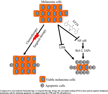 The Curcumin Analog EF24 is Highly Active Against Chemotherapy- Resistant Melanoma Cells