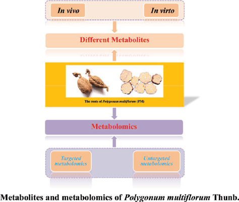 Advances in Understanding the Metabolites and Metabolomics of <i>Polygonum multiflorum</i> Thunb: A Mini-review