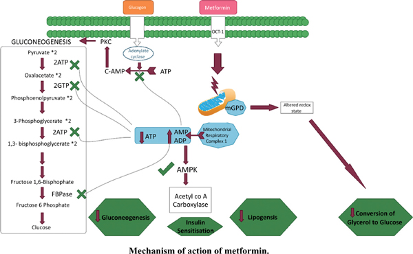 Efficacy and Cardiovascular Safety of Metformin