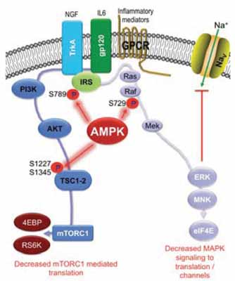 Adenosine Monophosphate Activated Protein Kinase Ampk Activators For The Prevention Treatment