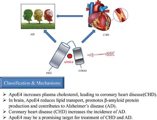 ApoE4 May be a Promising Target for Treatment of Coronary