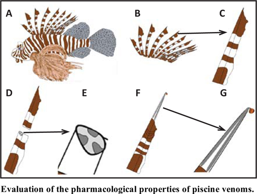 Evaluation of the Pharmacological Properties of Piscine Venoms from both Lionfish (<i>Pterois</i>) and Stonefish (<i>Synanceja</i>)