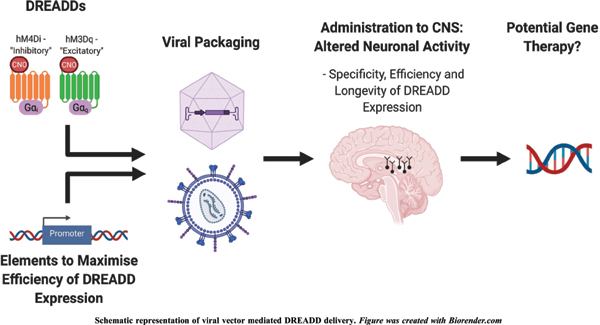 Viral Vector Delivery of DREADDs for CNS Therapy