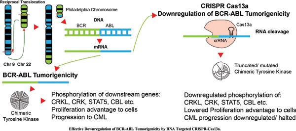 Effective Downregulation of BCR-ABL Tumorigenicity by RNA Targeted CRISPR-<i>Cas13a</i>
