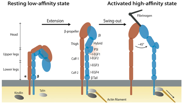 Updated Understanding of Platelets in Thrombosis and Hemostasis: The Roles of Integrin PSI Domains and their Potential as Therapeutic Targets