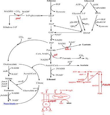 Genome-scale Metabolic Modelling for Succinic Acid Production in Escherichia coli