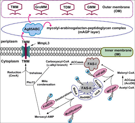 Kinase Targets for Mycolic Acid Biosynthesis in