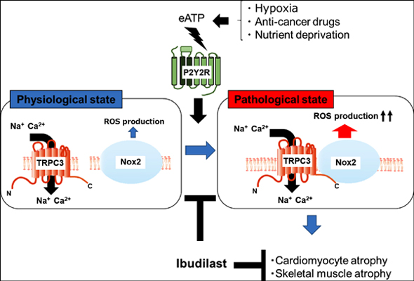 TRPC3-Based Protein Signaling Complex as a Therapeutic Target of Myocardial Atrophy