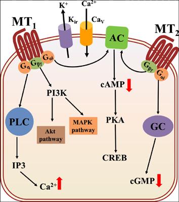 Melatonin Receptor as a Drug Target for Neuroprotection