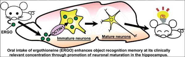 Oral Administration of the Food-Derived Hydrophilic Antioxidant Ergothioneine Enhances Object Recognition Memory in Mice