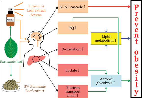 Eucommia Leaf Extract Induces BDNF Production in Rat Hypothalamus and Enhances Lipid Metabolism and Aerobic Glycolysis in Rat Liver