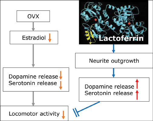Lactoferrin Suppresses Decreased Locomotor Activities by Improving Dopamine and Serotonin Release in the Amygdala of Ovariectomized Rats