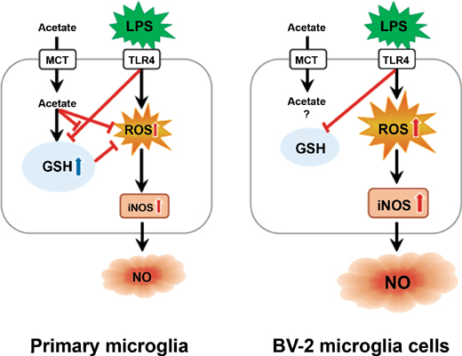Acetate Suppresses Lipopolysaccharide-stimulated Nitric Oxide Production in Primary Rat Microglia but not in BV-2 Microglia Cells