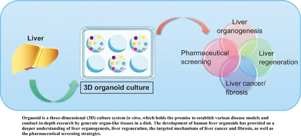 Organoids: Current Implications and Pharmaceutical Applications in Liver Diseases