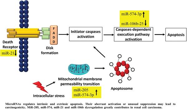 MicroRNA Regulation of TRAIL in Renal Carcinoma: Tiny Juggernauts at Work