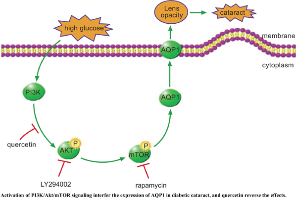 Quercetin Inhibits AQP1 Translocation in High-Glucose-Cultured SRA01/04 Cells Through PI3K/Akt/mTOR Pathway