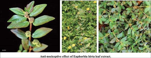 Anti-nociceptive Effect of Euphorbia hirta Leaf Extract: Involvement of Adenosine, Cholinergic, and Opioid Receptors