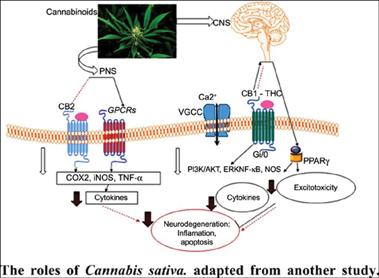 The Neuroprotective Properties, Functions, and Roles of <i>Cannabis sativa</i> in Selected Diseases Related to the Nervous System