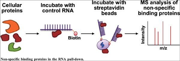 Analysis of the Non-Specific Binding Proteins in the RNA Pull-Down Experiment