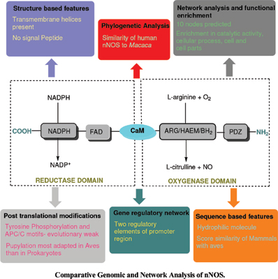 Comparative Genomic and Network Analysis of nNOS by Using Different Bioinformatics Approaches