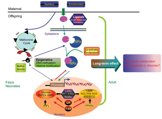 Nuclear receptors in hepatic glucose and lipid metabolism during graphical abstract fandeluxe Image collections