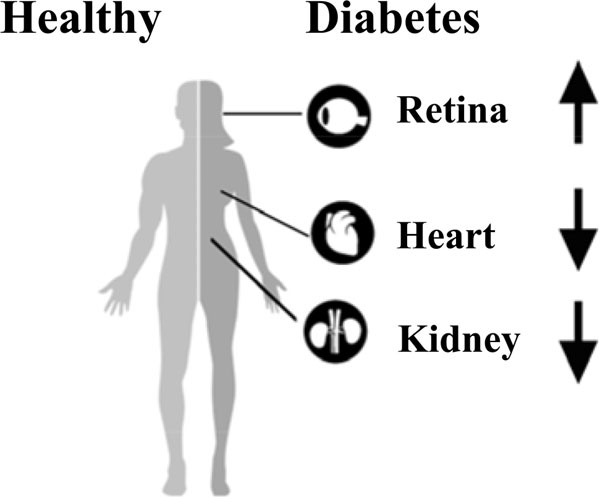 Effects of apelin peptides on diabetic complications benthamscience graphical abstract fandeluxe Images