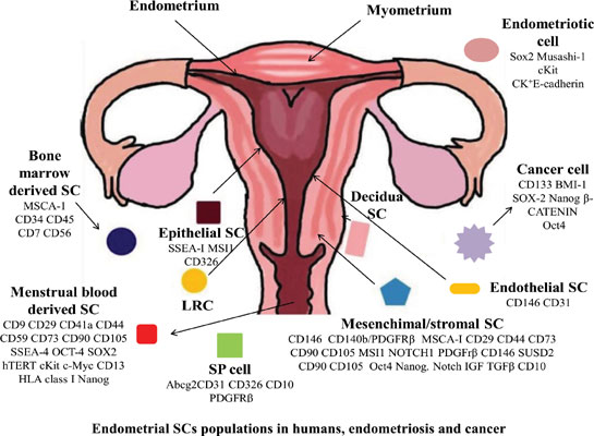 Regenerating the Womb: The Good, Bad and Ugly Potential of the Endometrial Stem Cells