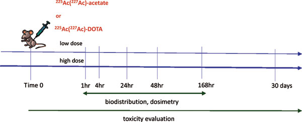i>In vivo</i> Evaluation of Free and Chelated Accelerator