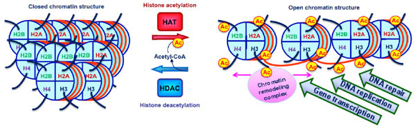 acetylation is a key process in cell self regulation Histone post-translational modifications play a crucial role in epigenetic regulation  identification and expression analysis of  acetylation plays a key.