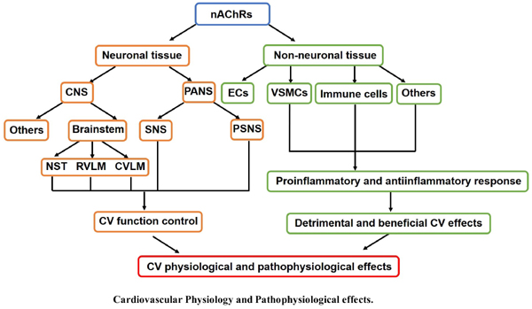 Role of Nicotinic Acetylcholine Receptors in Cardiovascular Physiology and Pathophysiology: Current Trends and Perspectives