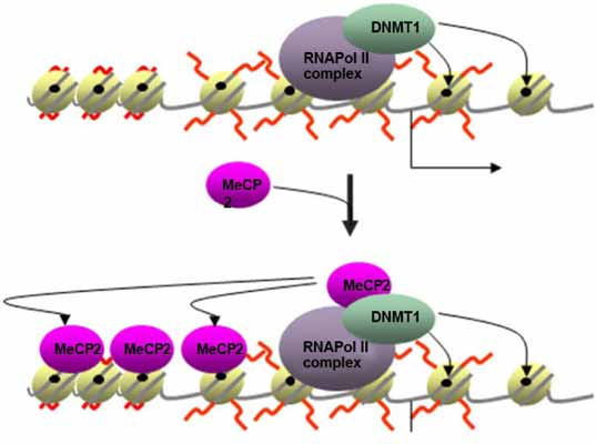 Transcription Coupled DNA Methylation Mediated by RNA Pol II and DNMT1