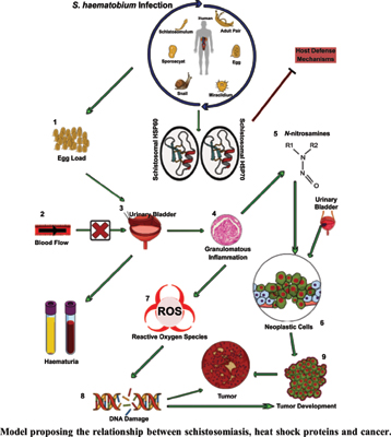 Diagnostic, Prognostic and Therapeutic Potential of Heat Shock Proteins in Schistosomiasis and Bladder Cancer: A Review