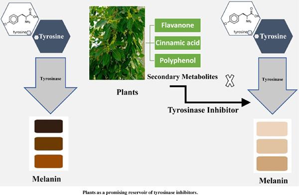 Plants as a Promising Reservoir of Tyrosinase Inhibitors
