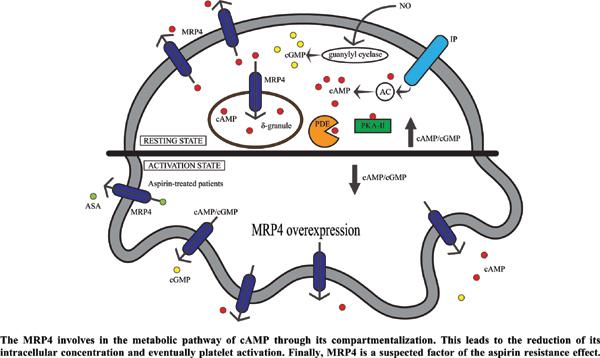 Multidrug Resistance Protein 4 (MRP4/ABCC4): A Suspected Efflux Transporter for Human's Platelet Activation